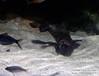 DSC_8445 (slamto) Tags: australia sydneyaquarium sydneysealifeaquarium platypus