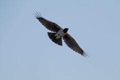 (cloudy_blue_sky) Tags: cornacchia cornacchiagrigia volo