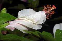 Hibiscus E (Franco Gavioli) Tags: 2016 fragavio francesco gavioli canoneos600d canonef100mmf28macrousm yongnuoyn568exiiettl augusta sicilia sicily macro fiore flower hibiscus ibisco