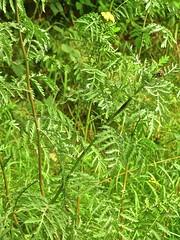 Tanacetum vulgare 3 (heinvanwinkel) Tags: nederland asteraceae augustus renkum 2010 beekdal tanacetumvulgare magnoliophyta asterales asteroideae spermatophyta boerenwormkruid anthemideae asterids tracheophyta eudicotyledons euphyllophyta mesangiospermae pentapetalae campanulids bloemvandedag gunneridae anthemidinae