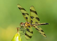 Halloween Pennant (Dalibor M) Tags: dragonfly grantpark halloweenpennant sonya77ii tamronsp150600mmf563usd