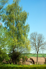 Trees on the edge of fields (Hejma (+/- 4500 faves and 1,5milion views)) Tags: tree grass landscape meadow polish fields crops birch trunks janikowice