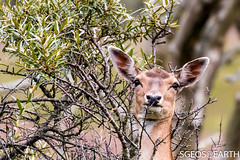 20160709-IMG_4573 (SGEOS@EARTH) Tags: canon landscape wildlife natuur deer duinen awd hert amsterdamse vogelenzang waterleiding eos70d sgeosearth