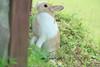 20160605-IMG_8341.jpg (ina070) Tags: animals canon6d grass pet rabbit 兔 兔子 公園 動物 寵物 植物 福德坑 自然 自然生態公園 草 草原 草地 草皮