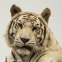 IMGP1977 (acornuser) Tags: uk kent pentax sanctuary bigcats whitetiger k3 wildlifeheritagefoundation whf