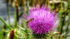 Carduus flower, Leusden, Netherlands - 2625 (HereIsTom) Tags: travel flowers plant holland nature netherlands animal europe thistle bloemen hoverfly webshots leusden