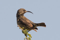 Sunbird (Becky Matsubara) Tags: africa tanzania lakemanyara sunbird eastafrica nectariniidae