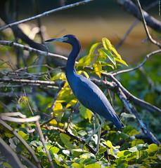Blue heron. (Carlos Arriero) Tags: travel naturaleza bird heron nature animal azul fauna nikon costarica wildlife ave blueheron tamron tortuguero pjaro viajar 70200mm garza vidasalvaje garzaazul d800e carlosarriero