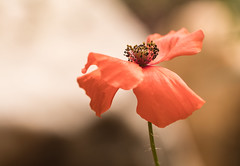 Summer dancer (Irina1010) Tags: poppy orange summer flower macro bokeh nature canon beautiful ngc npc