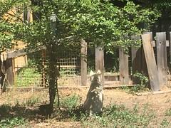 Backyard (TMLizzy Irwin) Tags: june2016 bridger bridgerthehusky siberianhusky huskypuppy plumtree
