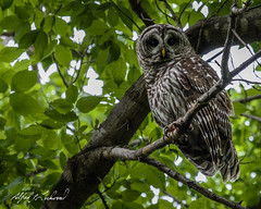 Barred Owl - I See You (Alfred J. Lockwood Photography) Tags: morning bird nature spring texas wildlife owl perch barredowl colleyvillenaturecenter alfredjlockwood