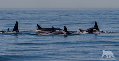 Wolves of the sea (fascinationwildlife) Tags: ocean california sea wild usa nature animal america mammal bay monterey moss spring pod wildlife natur landing killer whale orca wal transient