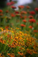 Heleniums (tonybill) Tags: flowers gardens bokeh july surrey miscellaneous wisley rhswisley rhs nikkor180mmf28ais sonya7