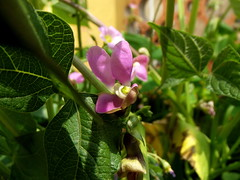 Phaseolus vulgaris, flower (luisjromero) Tags: plants flower flor bean seedcase vulgaris vaina frijol phaseolus