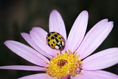 Ladybird (Phil Hewes) Tags: nikon d750 tokina 100mm macro ladybird insect