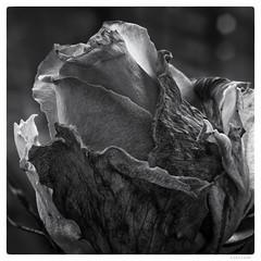 204/366 black white day #PassTheTime (wideness) Tags: entwicklung 2016 july 3662016 366the2016edition 366dayproject square blackandwhite blackwhiteday fujifilm fujifilmxt1 55mm konicamacrohexanonar55mmf35 rose flower detail macro fade flickrfriday passthetime