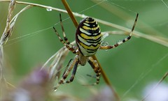 Wassertrgerspinne (Wespenspinne (Argiope bruennichi) (lomix-logo) Tags: wespenspinne spyder nass wet wasser tropfen wassertropfen garten