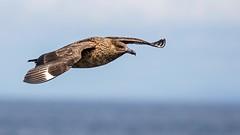 Bonxie (coopsphotomad) Tags: bonxie coll bird skua seabird avian birdinflight wildlife nature sea greatskua mull hebrides animal flying