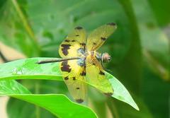 Halloween pennant (Zaima Tasneem) Tags: halloweenpennant celithemiseponina dragonfly nature bangladesh canon