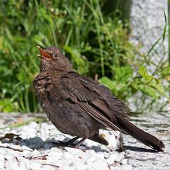IMG_3846_edited-1 (Lofty1965) Tags: ios islesofscilly oldtown bird