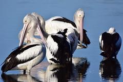 Pelicans (Luke6876) Tags: australianpelican pelican bird animal wildlife australianwildlife
