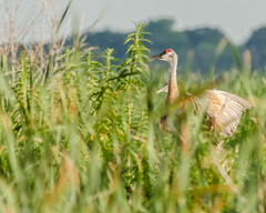 Sandhill Cranes laughing (pattyg24) Tags: horiconmarsh sandhillcranes wisconsin bird nature summer