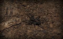 brown (dustaway) Tags: brown arthropoda arachnida araneae araneomorphae lycosidae wolfspider genus tullerapark tullera nature northernrivers nsw australia australianspiders marron braun marrone bruin coklat hnedy