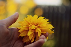 Touch (karmakerosene) Tags: flower hand nature yellow skin fingers bodypart bokeh summer nikond7000 nikon d7000 35mm
