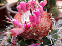 ER 160901 (12) (Paolo Bonassin) Tags: cactaceae cactacee cactus succulente melocactus