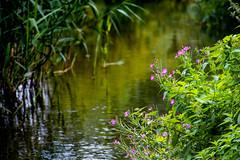 Harpenden River Lea (Benjamin Parker Photography UK) Tags: hertfordshire flowers 18135 canon 80d