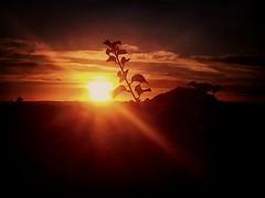 Sunday Sunrise (missgeok) Tags: silhouette sunrise sunday warm nature leaves today morning dawn sydney australia am horizon sun plants againstthesun sunlight