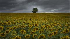 Atrapado (Explore) (Jose Cantorna) Tags: girasoles sunflowers rbol cielo nikon d610