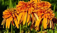Happy weekend! (fleckchen) Tags: sonnenhut echinacea sommer garten blumen blten gelb gelbeblten flowers flower blooms natur