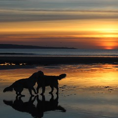 Puppy love (sheelaghgleeson) Tags: dogs golden retrievers wildatlanticway sunset lahinch
