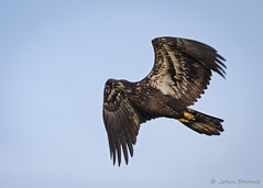 American Bald Eagle--12 (j.strome) Tags: americanbaldeagle