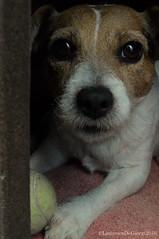 Lady big eyes (ludovicadegiorgi) Tags: dog cute jackrussel tennis ball eyes bigeyes black lovely cutie cane muso