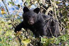 Face to face (Maja's Photography) Tags: animals amazing canon canada nature ashberries wildlife wilderness wild bc blackbear bears closeup critters climbing cubs conservation naturephotography forest fur