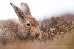 Mountain Hare (kfjmiller) Tags: mountainhare hare scotland highlands animal wildlife outdoors moor october fall autumn nikond610 tamron150600mm