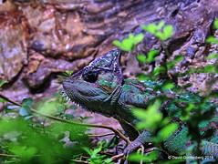 Chameleon (dgoldenberg52) Tags: israel jerusalem zoo biblical