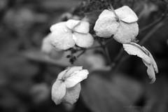 Hydrangea (Pat's_photos) Tags: westonbirt hydrangea bw hmbt