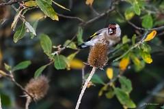 Chardonneret lgant (denis.loyaux) Tags: chardonneretlgant cardueliscarduelis europeangoldfinch passriformes fringillids domainedesoiseaux mazres midipyrnnes france oiseaux birds nikond5 nikkor200500f56