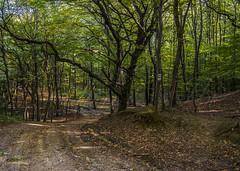 Forest (Delfinibi) Tags: hungary magyarország ungarn zuiko outdoor mzuiko természet nature natur natural erdő forest fa tree olympusepl5 olympus olympusm1442mmf3556iir okt pilis kéktúra túra túraút országoskéktúra epl5
