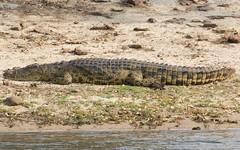 Crocodile (Jos Rambaud) Tags: cocodrilo crocodile reptil chooyu botswana africa wildlife wild nature naturaleza