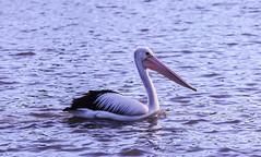 Australian Pelican, Sydney lake (Bulbulal) Tags: beautifulbird pelican
