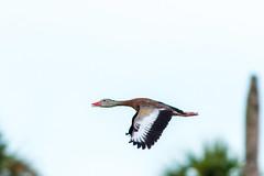 Black-bellied Whistling Duck (Michael R Hayes) Tags: blackbelliedwhistlingduck whistlingduck treeduck florida orlandowetlandspark duck ducks bird birdinflight flying