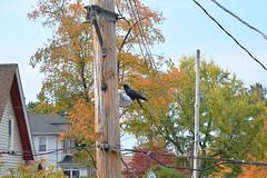 DSC_0011 (2) (Will-Daddazio) Tags: crow corvid