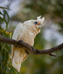 A very dirty looking Little Corella (Trace Connolly) Tags: australia australian australiasouthaustralia australianbirds birds bird birdsofaustralia australiananimals corella canon canon7d environmentalphotography flickr gold bowhill river rivermurray rivergums nature naturephotography native sigma southaustralia sigma120400mm yellow white sigma120400mmf4556apodgoshsm