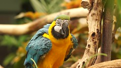 Shadow (dancing), Blue and Gold Macaw (Tjflex2) Tags: shadow blueandgoldmacaw victoriabutterflygardensbrentwoodbay britishcolumbia canada popular tourist victoria