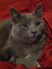 2015- Mowgli 03 (teresamarkos) Tags: mowgli cat cats kitten kittens felines feline