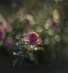 Rose garden (Franci Van der vyver (Carmen Tulum)) Tags: helios402 rose bokeh dew